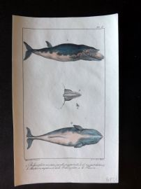 Lacepede & Oudart C1830 Hand Col Fish Print. Balaenoptera Whale 08